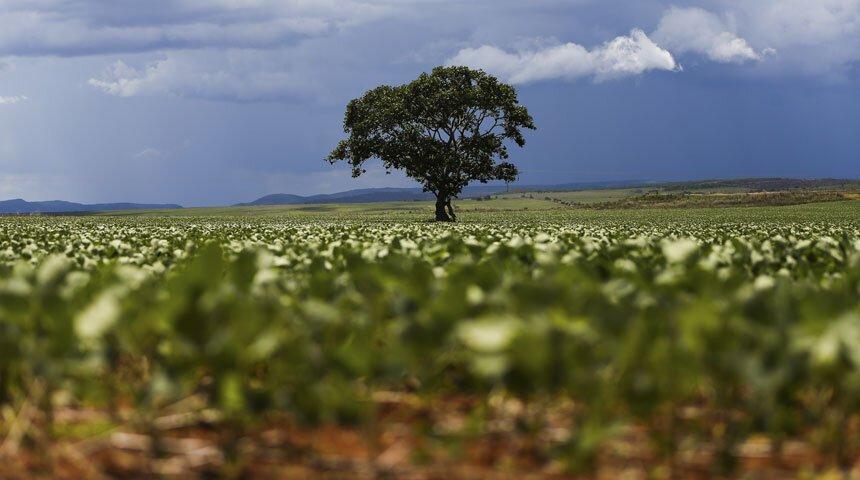 Árvore entre uma plantação